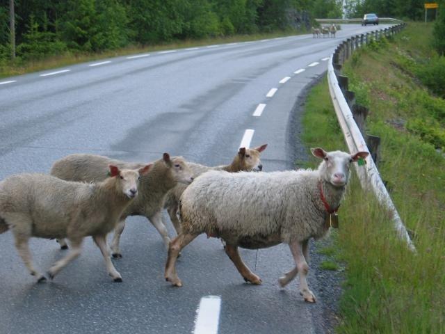 В Калмыкии продолжают фиксировать ДТП, произошедшие в результате безнадзорного выпаса скота
