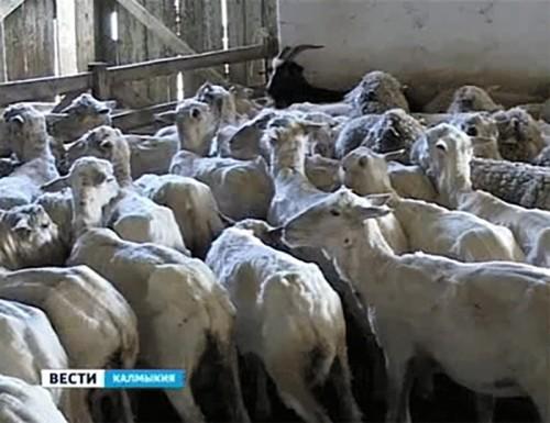 Итоги стригальной кампании подвели в Минсельхозе Калмыкии