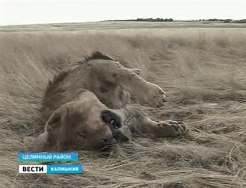 В Целинном районе обнаружено тело мертвого льва