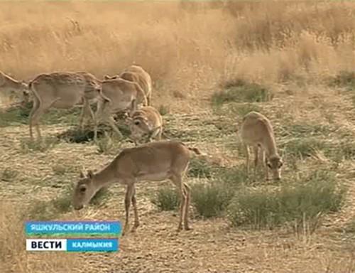 Как сохранить численность сайгаков в Калмыкии?