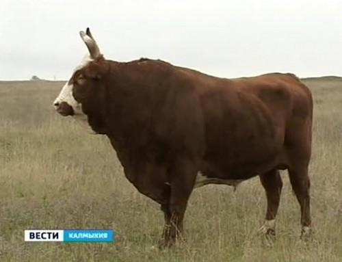 Калмыцкие животноводы готовятся к агропромышленной выставке