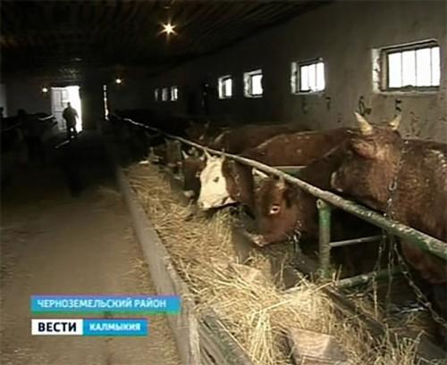 В племзаводе Первомайский взялись за производство «мраморного мяса»