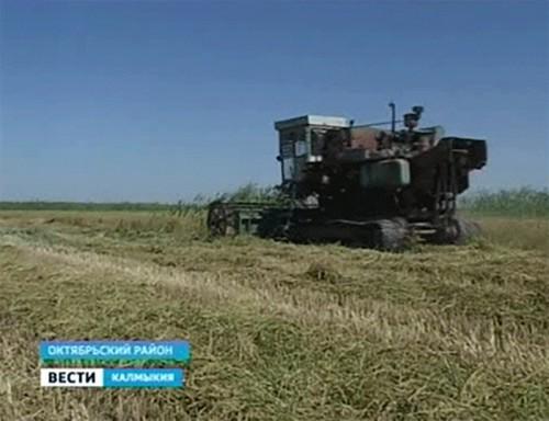 В Октябрьском районе уборка риса затянулась