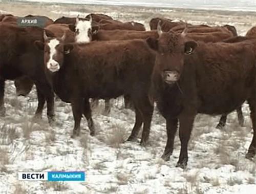 В Ики-Бурульском районе задержали двух скотокрадов