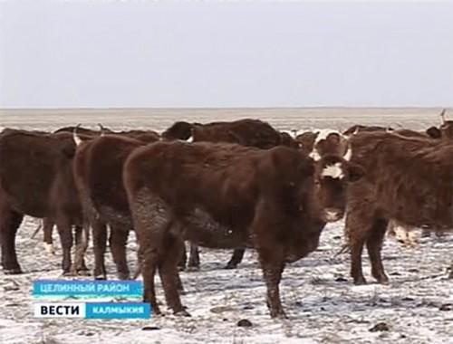Обеспеченность животных кормами в Калмыкии составляет почти 100%