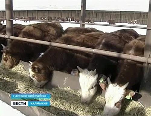 В Сарпинском районе завершено строительство откормочной площадки