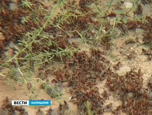 В Калмыкии из-за нашествия саранчи объявлен режим повышенной готовности