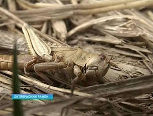 В Калмыкии продолжается борьба с вставшими на крыло саранчовыми вредителями