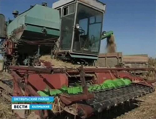 Калмыцкие рисоводы планируют собрать 18, 8 тысяч тонн риса