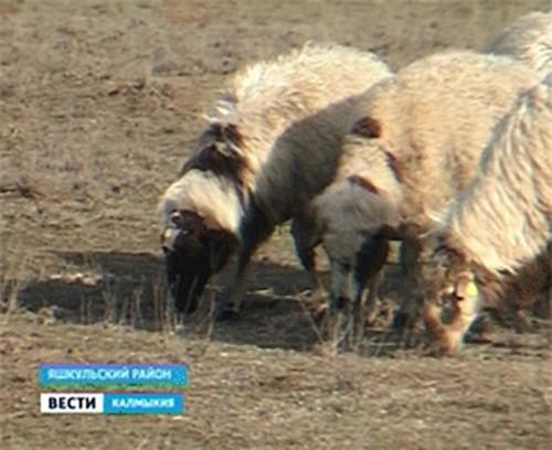 В Калмыкии выведена новая порода калмыцкой курдючной овцы