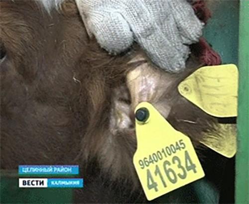 В Калмыкии применяют новый метод чипирования животных