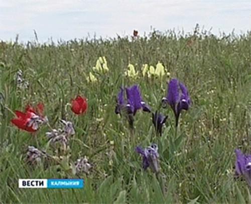 В Калмыкии стартовала экологическая операция «Первоцвет»