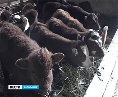 Зимовка скота в Калмыкии завершается благополучно