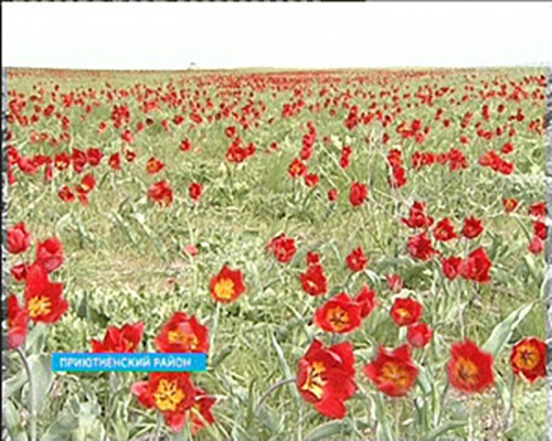 В Калмыкии впервые прошел Фестиваль тюльпанов