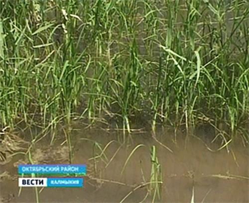 Рисоводы Калмыкии планируют засеять почти 5, 5 тысяч га риса