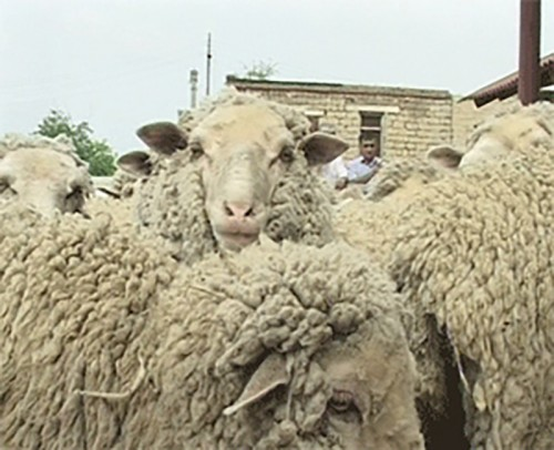 20 регионов России участвуют в юбилейной выставке племенных овец