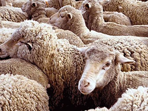 В Яшкульском районе арестовали отару овец