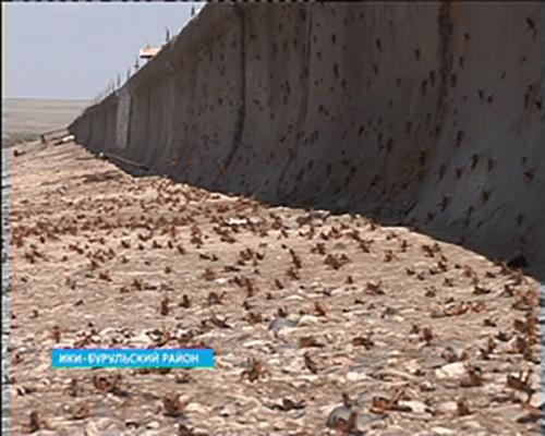 В Лаганском районе введен режим повышенной готовности из-за саранчи