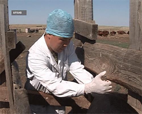 В Кетченеровском районе началась массовая вакцинация скота от ящура
