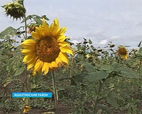 Средняя урожайность подсолнечника в Яшалтинском районе составила 3, 6 центнера с гектара