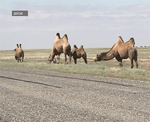Ученые обеспокоены сокращением численности двугорбых верблюдов