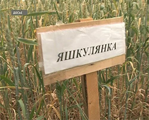Новые сорта зерновых культур Калмыкии планируют включить в государственный реестр
