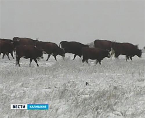 Зимовка скота в Калмыкии проходит в штатном режиме