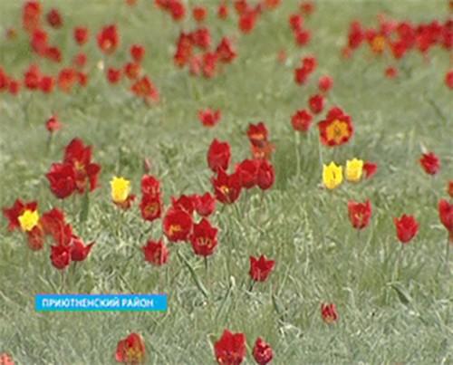 Фестиваль тюльпанов в Калмыкии посетили более 3000 человек