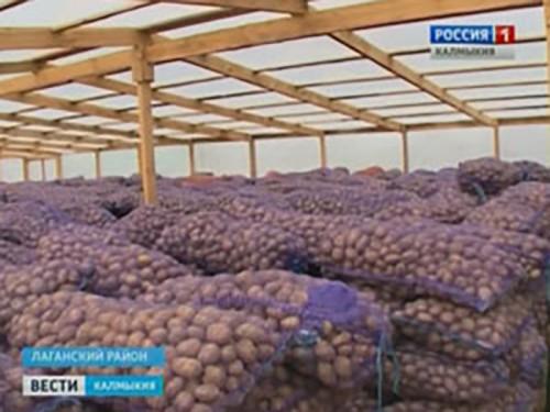 В Лаганском районе три КФХ высадят картофель на 120 га земли