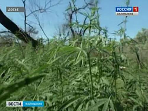 В Кетченеровском районе задержан мужчина за сбор дикорастущей конопли