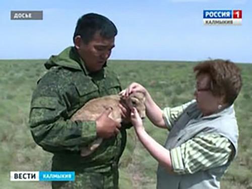 В Калмыкии сайгаки на грани исчезновения