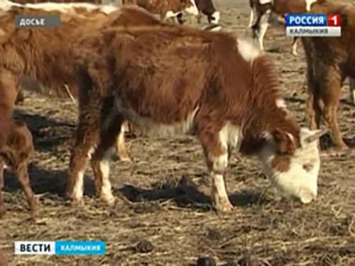 Два жителя села «Дружное» пытались реализовать зараженное мясо
