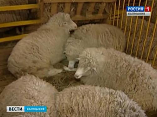 В Калмыкии пройдет VI съезд Национальной ассоциации заводчиков калмыцкого скота