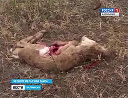 Житель Черноземельского района задержан по подозрению в незаконной добыче сайгаков