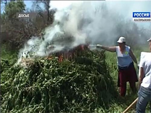 В Лаганском районе уничтожено 53 тысячи кустов конопли