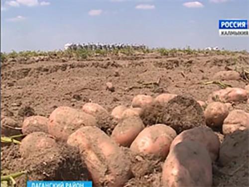 В Лаганском районе в разгаре уборка картофеля