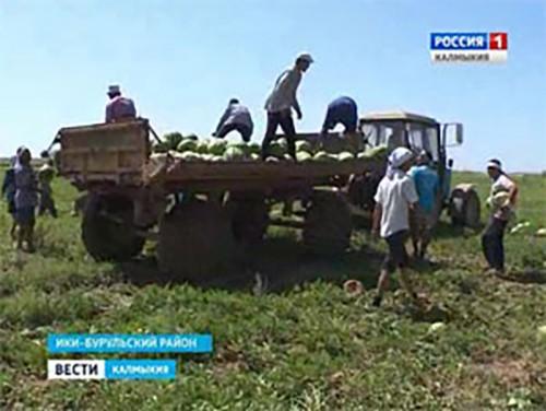 Ики-Бурульские арбузы покоряют российские регионы