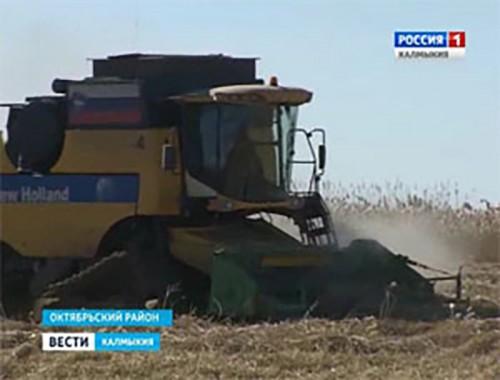 В Калмыкии собирают рис и заготавливают корма