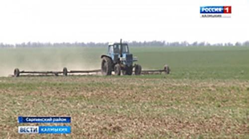 В Сарпинском районе планируют собрать хороший урожай озимых