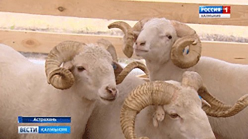 В Астрахани начала работу 18-я Российская выставка племенных овец и коз