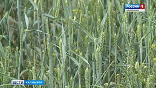 Ики-Бурульцы рассчитывают на хороший урожай зерновых