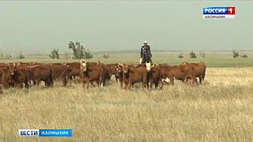 Участники съезда заводчиков калмыцкого скота побывали в районах республики