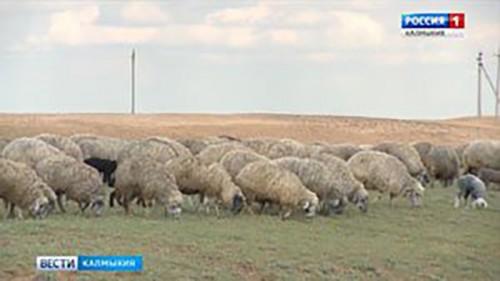 В Калмыкии получили патент на новую породу овец
