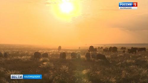 Калмыцкий скот будут экспортировать в Иран