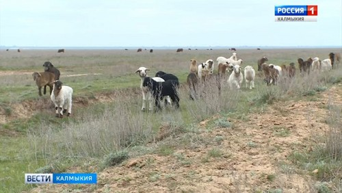 Калмыкия в тройке лидеров по количеству овец