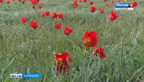 В Калмыкии скоро зацветут первые тюльпаны