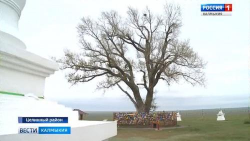 Одинокий тополь может стать главным деревом страны