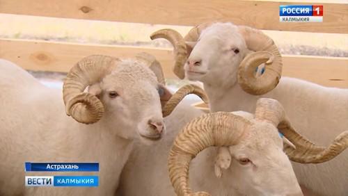 В Астраханской области начала работу 20-я Российская выставка племенных овец и коз