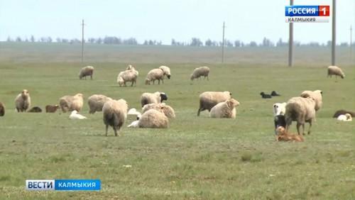 В Калмыкии началась стрижка овец