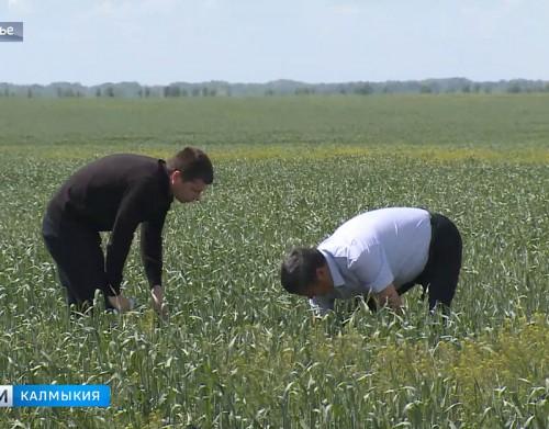 В Яшалтинском районе установлен карантинный фитосанитарный режим